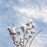 Спирея в снегу :: Анатолий Иргл