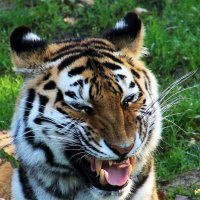 Улыбка тигра :: Alexander