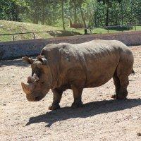Носорог,зоопарк Даляня :: Сергей Смоляр