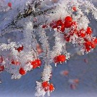 Застывшая краса в снегу :: Павлова Татьяна Павлова