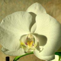 Орхидея расцвела на подоконнике-1 :: Александр