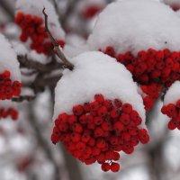 Рябина под снежком :: Денис Корягин