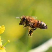 Пчелка :: Николай Волков