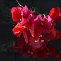 Бугенвиллия :: lady-viola2014 -