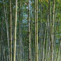 bamboo forest :: Alexey Romanenko