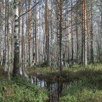 разлив лесной речки Ширшима :: Светлана Ку