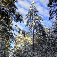 Зима в лесу. :: Мила Бовкун
