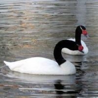 Парк,лебеди на пруду... :: Тамара (st.tamara)