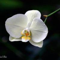 орхидея... :: Павел Баз