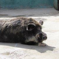 Свинчик :: Георгий Калиберда