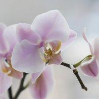 Розовая нежность :: Наталия Григорьева