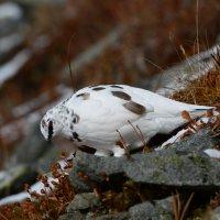 Белая куропатка. :: Валерий Давыдов
