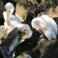 В зоопарке пеликаны чистят пёрышки свои :: Дмитрий Никитин