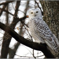 Полярная или белая сова :: vovafritz