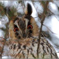 Портрет ушастой совы :: vovafritz