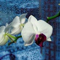Орхидея :: Сергей С