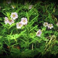 Камчатские цветы. Герань :: Марина Домосилецкая