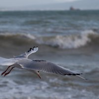 чайка на ветру :: Игорь Гарагуля