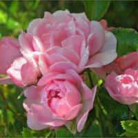 Розы на рассвете :: Эля Юрасова