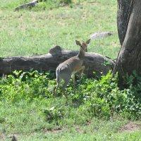 Танзания. Серенгети. Карликовая антилопа. :: Елена Савчук
