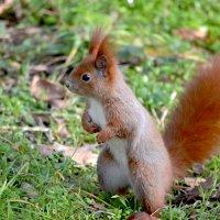 Ох и устала я орехи закапывать, а они их несут и несут... :: Nina Streapan