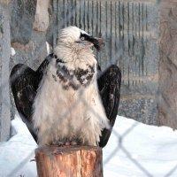белоголовый СИП ,отряд соколообразных,семейство ястребиных :: Gavrila68 -Женя