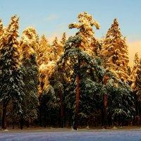 Ели освящённые солнцем :: Олег Пучков