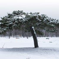 Столетнее дерево :: Наталья Литвинчук