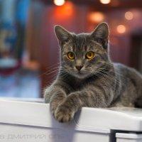 Кошка :: Дмитрий Захаров
