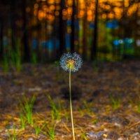 Вечер, лес, одуванчик... :: Андрей Поляков