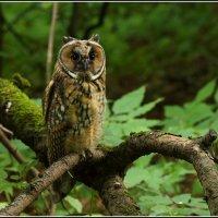 Ушастая сова :: vovafritz