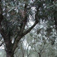 Оливковый сад :: Марина Пряткина