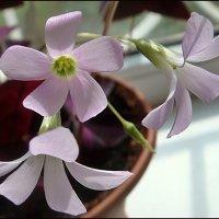 Нежные цветы кислицы :: Нина Корешкова