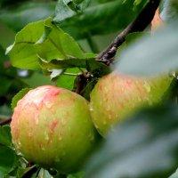 Яблочки были с кислиночкой... :: Светлана