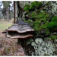 Древесный гриб в декабрьском лесу :: Милешкин Владимир Алексеевич