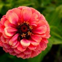 Цветы моего сада. Несравненная циния. :: Юрий Пожидаев