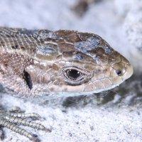 Ящерка мелкая, но не трусливая. :: Андрей Gryphon Татуревич