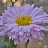 Хризантема из нашего двора :: Нина Корешкова