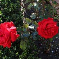 Розы в декабре :: valeriy khlopunov