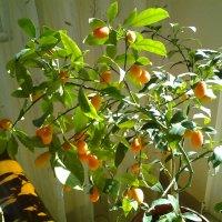 Наш сад.Фортунелла,кинкан или кумбат. (Citrus japonica). :: Жанна Мааита