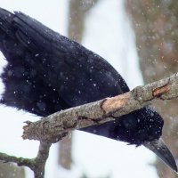 ворона (грач)  в снежинках :: Александр Прокудин