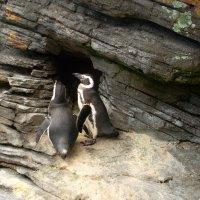 Пингвины. :: Helga Olginha