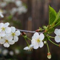 И вишен белые цветы... :: Natusya _ya