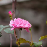 роза :: Катя Медведева