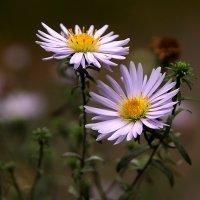 Осенние цветы :: Екатерина Мелешина