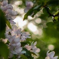 Когда цветут яблони... :: Наталья Rosenwasser