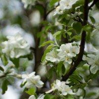 яблоня цветет :: Николай Прийменко-Эйсымонт
