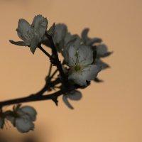 Весеннее цветение на закате.. :: Вера Лучникова