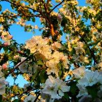Яблоня в цвету :: Дмитрий Илюхин