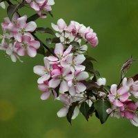 Яблони в цвету.. :: Вера Лучникова
